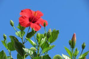 Hibiscus on Panarea
