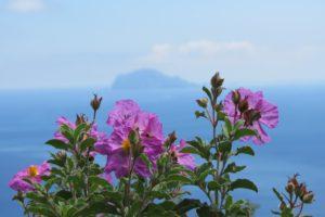 Rock rose (cistus) on Salina, Aeolian islands