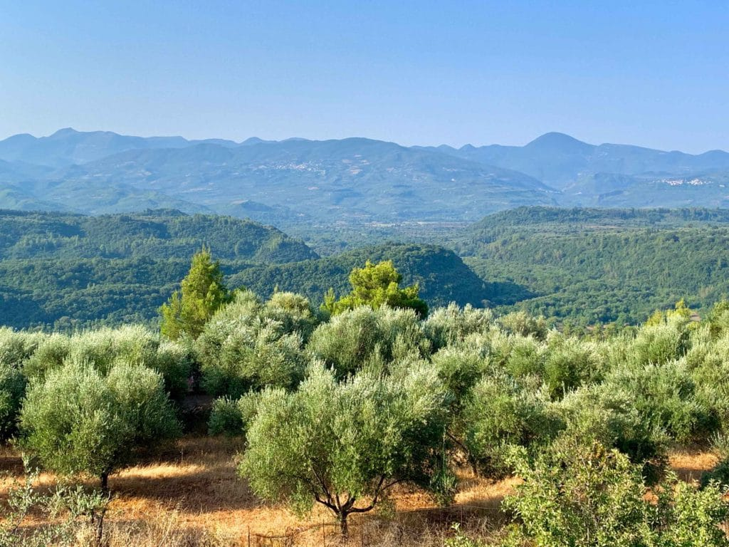 Olive trees in Kalamata