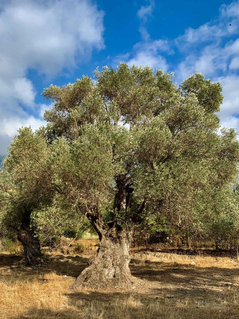 Olive tree in Crete